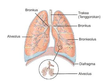 struktur paru paru